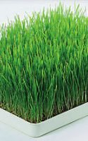 The Benefits of Using Wheat Grass in a Green Smoothie Recipe